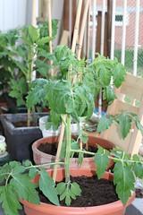 Tomatenplanten 04-06