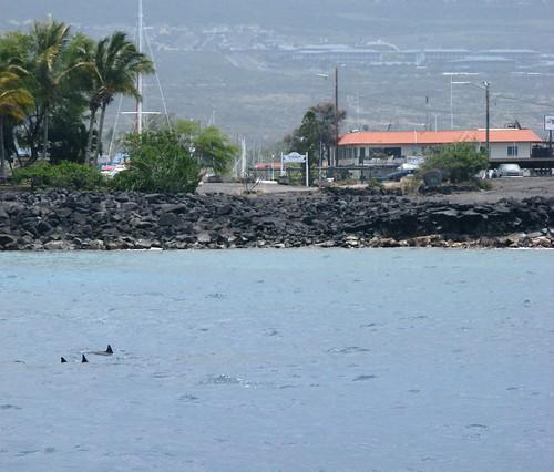 Dolphins at Honokohau Harbor
