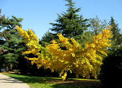 Glowing Gingko