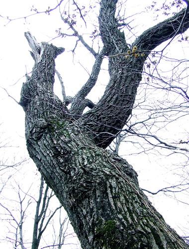 old rock oak (Quercus prinus)
