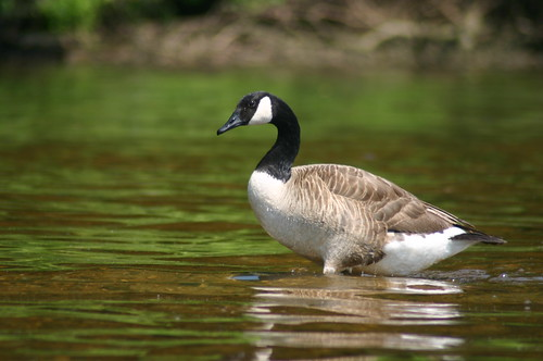Kayaking Occoquan River - Canadian Goose 2 (By Ryan Somma)
