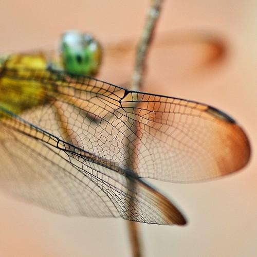 Neurothemis fluctuans {Grasshawk dragonfly}
