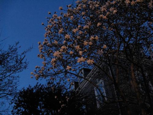star magnolia in bloom
