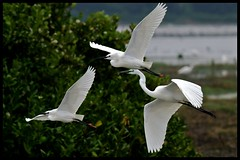 Three Egrets in Flight