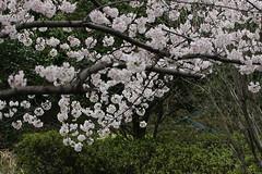 國學院大學の桜(Cherry blossom at Kokugakuin Univ., Tama-plaza, Japan, 2010)