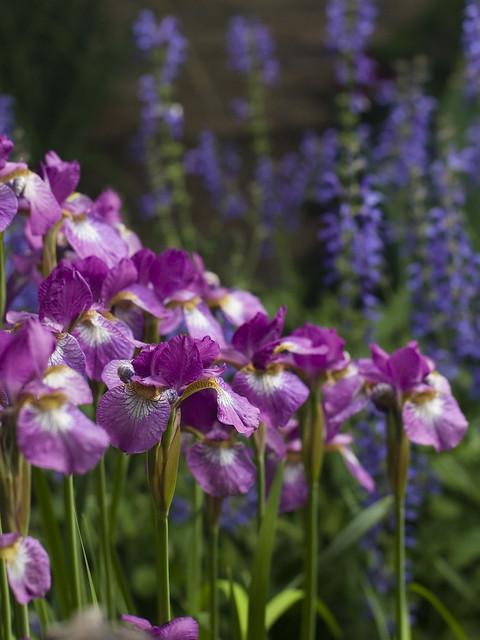 Iris NOID Pink Siberian