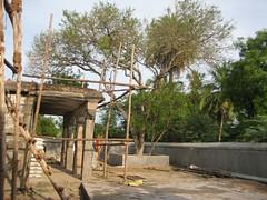 Vilva Tree (by Raju's Temple Visits)