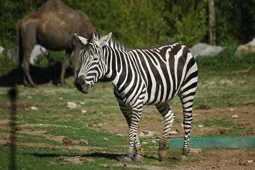 Steppenzebra im Zoo Parc de Beauval