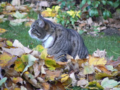 Cat in the leaves