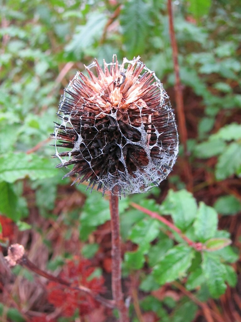 Coneflower seedhead covered in dewy spiderweb