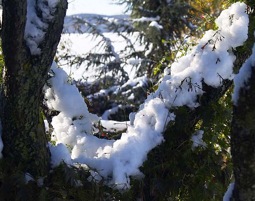 Snow Clings To Pear Tree