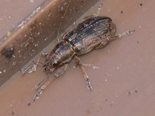 Weevil 1