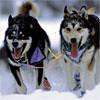 Sled Dogs in  Yukon