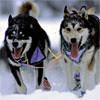 Sled Dogs in  Yukon