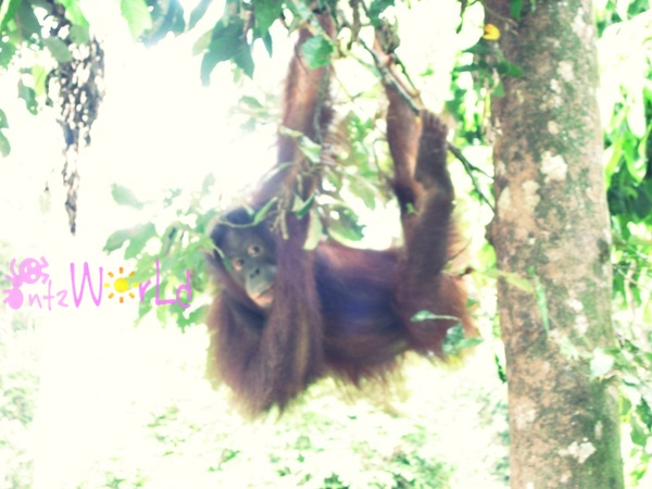 OrangUtan@Sepilok (15)