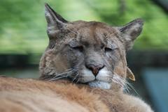 Puma im Zoo Parc de Beauval
