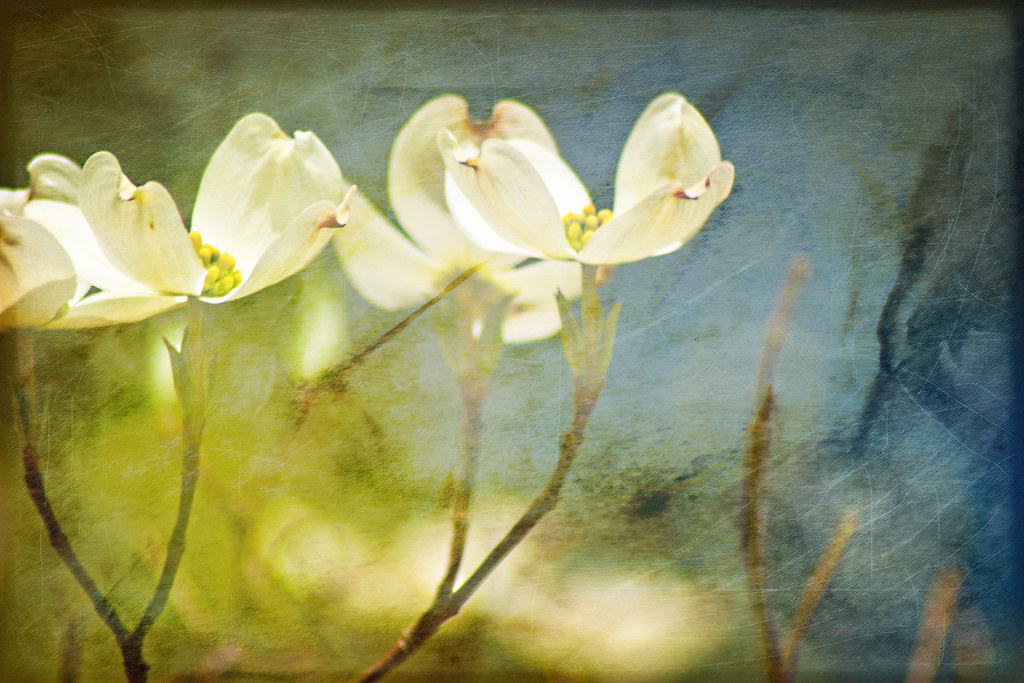 dogwood blooms with texture