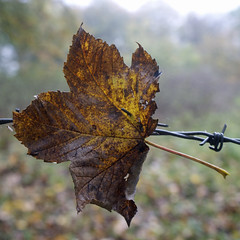 Leaf on barbed wire