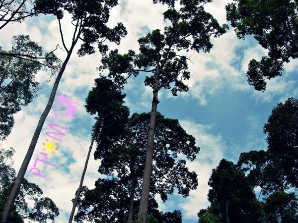 OrangUtan@Sepilok (13)