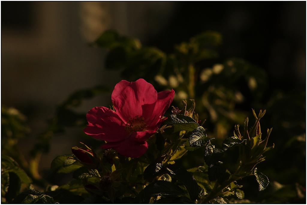 September Rose
