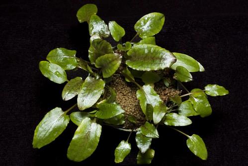 Cryptocoryne wendtii 'Green 02'