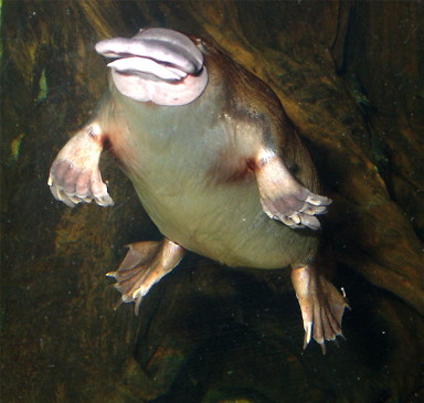 platypus2 by you.