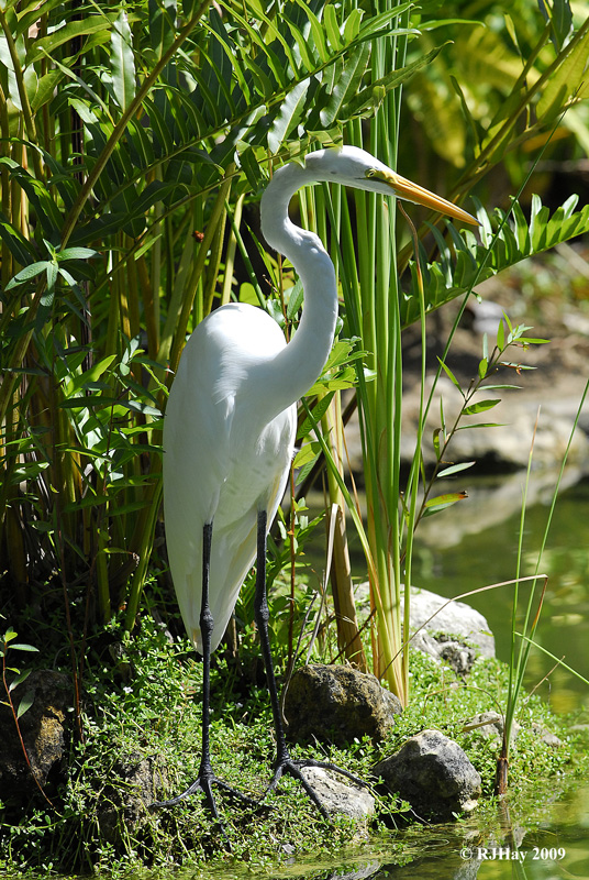 Great Egret - Punta Cana 2009