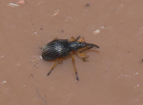 Weevil 2