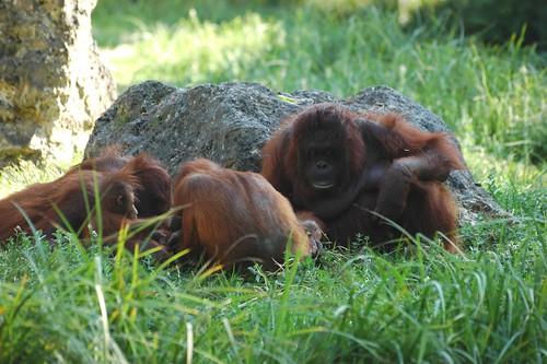 Orang-Utans im Zoo Parc de Beauval