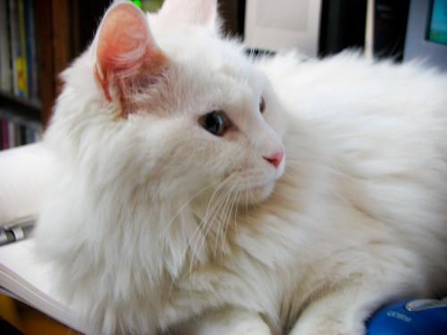 책상 위에 앉아 있는 하얀 고양이. 옆으로 돌아보고 있다.