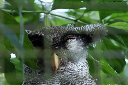 Barred Eagle-owl (Bubo sumatranus)