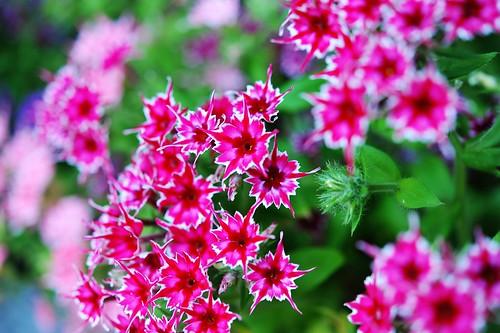 star flower1