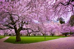 Cherry Blossoms, Latona, Seattle