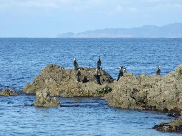 A Japanese cormorant
