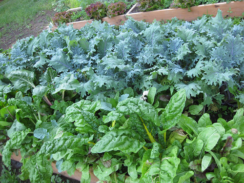 Kale and Chard, the proudest of the greens