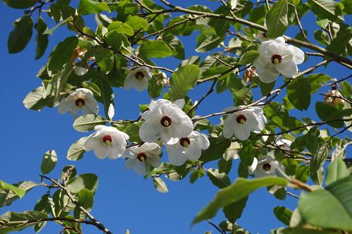 Magnolia Sieboldii Vancouver Island Grows