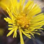 "A walk in the sun. #spring #stockholm #shockholm #instamoment #tussilagofarfara #tussilago #flower #friday #weekend #bromma #brommablocks #friends <a style=""margin-left:10px; font-size:0.8em;"" href=""http://www.flickr.com/photos/131645797@N05/33464996622/"" target=""_blank"">@flickr</a>"