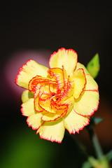 fiore 001