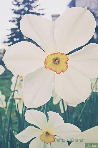 Narzissen · Daffodils