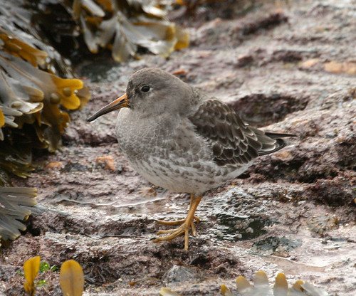 "Purple Sandpiper • <a style=""font-size:0.8em;"" href=""http://www.flickr.com/photos/30837261@N07/10723270864/"" target=""_blank"">View on Flickr</a>"
