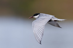 Whiskered Tern | skäggtärna | Chlidonias hybrida