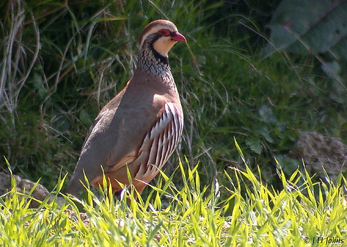 "Red-legged Partridge, (J H Johns) • <a style=""font-size:0.8em;"" href=""http://www.flickr.com/photos/30837261@N07/10722715713/"" target=""_blank"">View on Flickr</a>"
