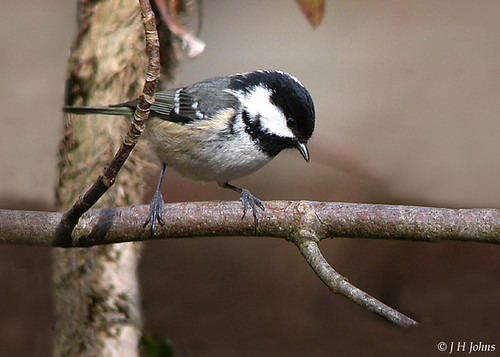 "Coal Tit (J H Johns) • <a style=""font-size:0.8em;"" href=""http://www.flickr.com/photos/30837261@N07/10723135954/"" target=""_blank"">View on Flickr</a>"