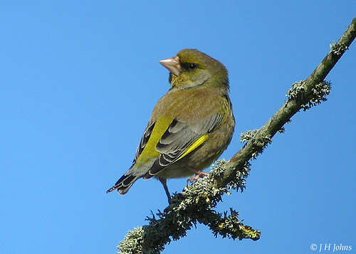 "Greenfinch (J H Johns) • <a style=""font-size:0.8em;"" href=""http://www.flickr.com/photos/30837261@N07/10722740595/"" target=""_blank"">View on Flickr</a>"