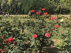 Rose Garden, Lodhi Gardens, New Delhi