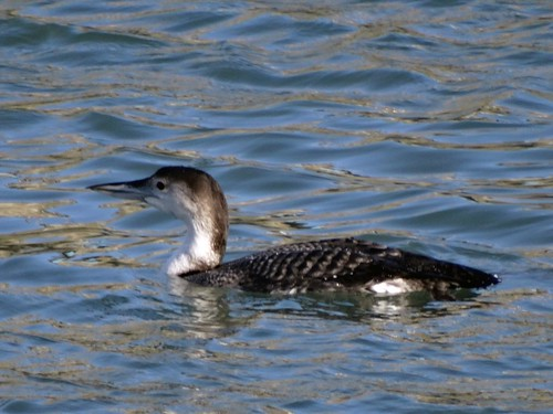 """Great Northern Diver, Newlyn harbour, 02.02.14,(G.Hobin) • <a style=""""font-size:0.8em;"""" href=""""http://www.flickr.com/photos/30837261@N07/13851582924/"""" target=""""_blank"""">View on Flickr</a>"""