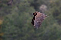 Cinereous Vulture | grågam | Aegypius monachus