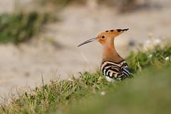 Eurasian Hoopoe | härfågel | Upupa epops