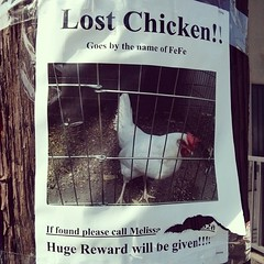 Pet chickens in the city? Someone needs to find Fe Fe.
