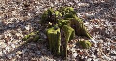 """Der Baumstumpf. Die Baumstümpfe. Hier sieht man einen sehr alten Baumstumpf. Er ist mit Moos bewachsen. • <a style=""""font-size:0.8em;"""" href=""""http://www.flickr.com/photos/42554185@N00/33781867846/"""" target=""""_blank"""">View on Flickr</a>"""